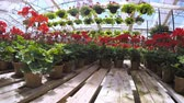 melhoria : Abundance of colorful flowers at the garden center in Early Summer. Vídeos