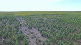 girassol : Aerial view of blooming sunflower fields. Stock Footage