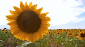 girassol : Blooming sunflower on agricultural fields. Stock Footage