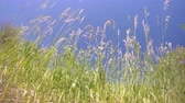 alergia : Tall grass against blue sky.