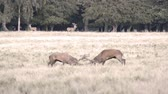 funda : Two male red deer,Cervus elaphus fighting during the mating season in autumn Stok Video
