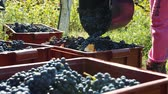 contenitore : Grape harvesting outdoors in sunlight