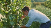 виноградник : Man cutting grapes during the harvesting process. Slow motion.