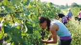 wijn druiven : Harvesters cutting bunch of grapes in vineyard rows Stockvideo
