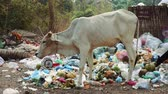 кхмерский : Cow Feeding On Garbage In Angkor Wat Cambodia.