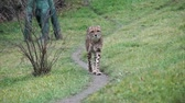 cheetah : Cheetah on the trail
