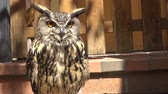 Eagle Owl sitting close up portrait Stock Footage