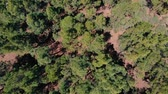 scenérie : Aerial view - green dense forest of pines, the wind stirs the tops of the trees