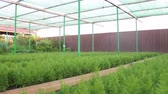 irrigação : Many species of arborvitae and other ornamental plants grown for wholesale. Farm Business