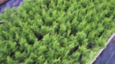 grown : Evergreens and thuja standing in rows in a greenhouse in a nursery for growing and selling seedlings