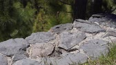 droge huid : Several small lizards in the wild bask in the sun on the rocks and eat grass. Little wild reptiles Stockvideo