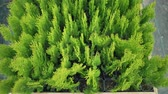 hagen : Little beautiful arborvitae in pots in a plant nursery. Western coniferous thuja in a flower shop. Plants produce air and improve the environment Stockvideo
