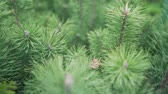 boreal : Sapling of a pine close up. Little xmas tree for decoration. Forest growing Stock Footage