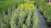 boreal : Many seedlings of fir trees in pots. Young spruce. Ecology concept, nursery farm