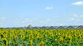 hotbed : Sunflowers against the blue sky