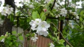 crab apple : Blooming apple tree in spring time