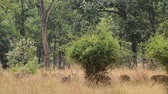 kanha national park : Spotted deer (Axis axis) National Park, India Stock Footage