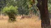 fawn : Spotted deer (Axis axis) National Park, India Stock Footage