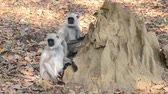bilinen : Gray Langur also known as Hanuman Langur in the National Park in India Stok Video