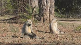 Gray Langur also known as Hanuman Langur in the National Park in India Stok Video