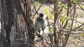 Gray Langur also known as Hanuman Langur in the National Park in India Vídeos