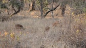 bilinen : Spotted deer (Axis axis) National Park, India Stok Video