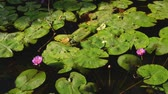 waterlily : Beautiful group of lotus with vivid pink in swamp