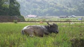 bizarro : Young buffalo lying on mud to displace bug fly on body and make fresh and cold. 4k