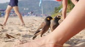 tailândia : Common Myna or Acridotheres tristis waiting for food from tourists on the beach in Thailand. Closeup. 4k Stock Footage