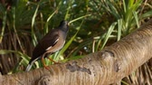 volaille : Common myna or Acridotheres tristis on a tree branch in a tropical forest. Closeup. 4k Vidéos Libres De Droits