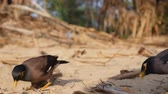 tailândia : Tourists feed Common Myna or Acridotheres tristis on the beach in Thailand. Closeup. 4k