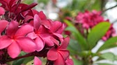 Branch of red blossom plumeria or frangipani with green foliage wiggle on the wind breeze. Hot pink flowers. Closeup. 4k Dostupné videozáznamy