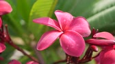 gomos : Branch of red blossom plumeria or frangipani with green foliage wiggle on the wind breeze. Hot pink flowers. Closeup. 4k Stock Footage