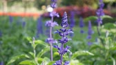szałwia : Flowerbed purple blue Salvia Farinacea flowers. Summer day, light breeze. Close-up
