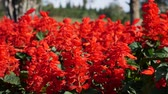 fűnemű : Salvia splendens. A field of red flowers. A flowerbed with red flowers. Red velvet flowers. Plants. Landscaping. Close-up