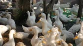 aquatic bird : A lot of white geese walking in farm yard in Countryside