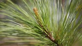 seçim : Pine tree branch with green needles. Branches of tree moving in the wind. Close-up Stok Video