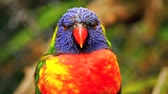 Rainbow Lorikeet (Kleurrijke Papegaai) Vogel - Portret, Close-up