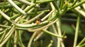 hunters : Beewolf wasp drinking nectar from a flower of the pencil cactus, leafless spurge (Euphorbia Aphylla).