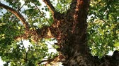 bizarro : Bizarre looking tree with peeling flaky bark. Pterocarpus macrocarpus also known as Burma padauk.