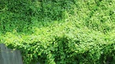 front or back yard : Invasion of nature. Overgrown wild vine crossing rusty corrugated metal fence. Stock Footage
