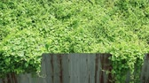 surrounding environment : Invasion of nature. Overgrown wild vine crossing rusty corrugated metal fence. Stock Footage