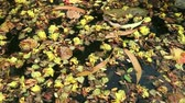 Beautiful fallen flowers and variety of leaves floating on green water. Flowers of yellow Peltophorum pterocarpum (copperpod) and red Delonix regia (flame tree) Стоковые видеозаписи