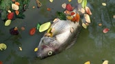 Dead tilapia fish and colorful fallen leaves floating on green planktonic algae water