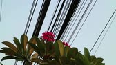 Contrast between nature and technology, Plumeria flowering tree and electrical power lines