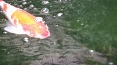 Variety colorful ornamental Koi carp fishes, Cyprinus carpio, swim in fresh flowing water pond. Beautiful air bubbles on water surface.