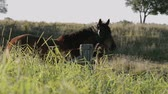 horse face : Single horse grazing in the outback, in Brisbane - Queensland. Stock Footage