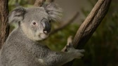 ушки : Cute Australian Koala in a tree resting during the day.