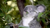 ушки : Cinemagraph of a cute Australian Koala in a tree eating. Стоковые видеозаписи