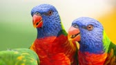 projeto de lei : Rainbow lorikeets out in nature during the day.